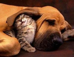 Убедитесь, что собака чувствует себя комфортно и... В процессе чистки ушей собаке не стоит слишком глубоко чистить...